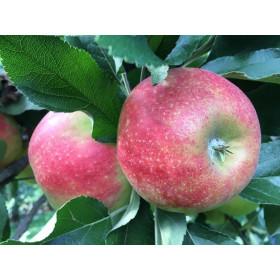 Äpfel Elstar 3kg