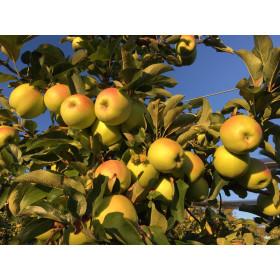 Äpfel Golden Delicious 3kg