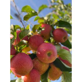 Äpfel Pinova 3kg
