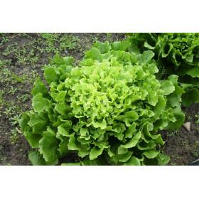 Endivie (Salat) 1Stk